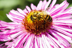 Bee at work Royalty Free Stock Image