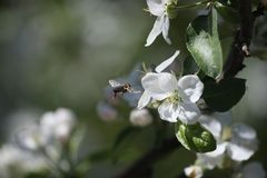 Bee collects pollen from Apple trees royalty free stock image