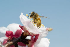 A bee Royalty Free Stock Photos
