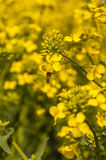 Bee at work. Honey bee immersed in rape flowers. Pollinates it in the course of collecting nectar Stock Images