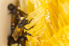 Bee at work. On honeycomb Stock Photography