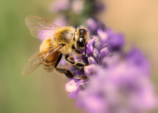 Bee at work on lavender. Bee foraging and pollinating in lavender Royalty Free Stock Images