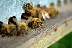 Bee. At work near to Florence Stock Image