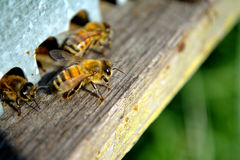 Bee. At work near to Florence Stock Images