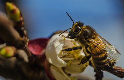 Bee at work. A bee pollinating a flower stock photo