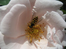 Bee at work in a rose. Bee working in a pink rose Royalty Free Stock Photography