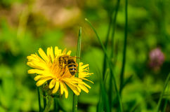 Bee at work. A small macroshot of a bee on a yellow flower Royalty Free Stock Photography