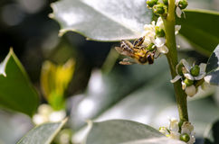Bee at work. Bee on the spring flower of tree Stock Image