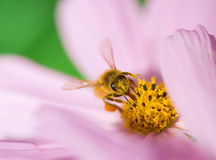 Bee worker Royalty Free Stock Images