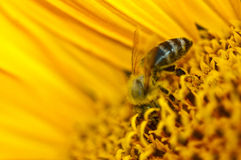 Bee Worker. The honey bee on a sunflower Royalty Free Stock Photos