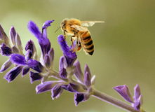 Bee Worker Royalty Free Stock Photography