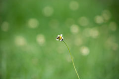 Bee worker collecting pollen from grass flowers Royalty Free Stock Photos