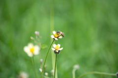 Bee worker collecting pollen from grass flowers. Stock Photography