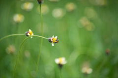 Bee worker collecting pollen from grass flowers. Stock Images