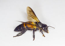 Bee worker isolated Stock Photos