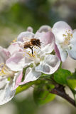 Bee working on apple flower in spring Stock Photo