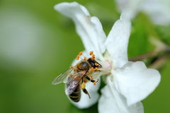 Bee is working. On a apple tree stock photo