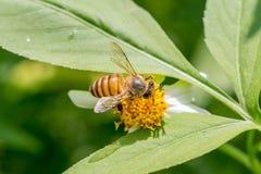 Bee working on Bidens pilosa flower Royalty Free Stock Photography
