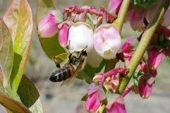 Bee working blueberries. Vancouver canada. blueberry fields in full bloom change from pink to white. flowers open and are polinationed by bees gathering pollen Stock Photos