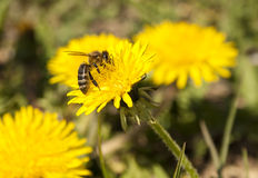 Bee working on dandelion. Bee working on yellow dandelion Royalty Free Stock Photography