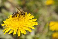 Bee working on dandelion. Bee working on yellow dandelion Royalty Free Stock Image