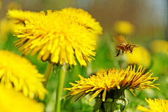 Bee working on the field. Stock Photography