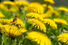 Bee working on the field. Royalty Free Stock Photo