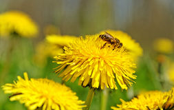 Bee working on the field. Royalty Free Stock Photography
