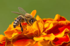 Bee working on flower. Cute bee working on nice orange flower, collecting pollen Royalty Free Stock Images