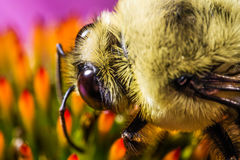 Bee working on flower to collect pollen extreme macro Royalty Free Stock Images