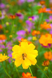 A bee working on fresh yellow flower. And colorful garden stock photography