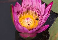 Bee working on pink lotus flower royalty free stock photography