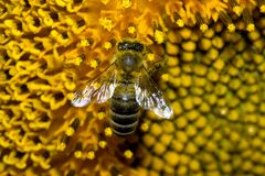 Bee working on a sunflower Royalty Free Stock Photos