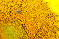 Bee working on sunflower Royalty Free Stock Images