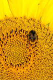 Bee working on sunflower Stock Images