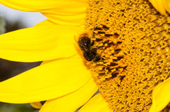 Bee working on sunflower Stock Photos