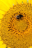 Bee working on sunflower Royalty Free Stock Photography