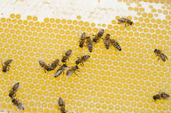 Bee working. Bee swarm working in bee hive Stock Photography