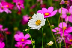 Bee working on white cosmos flower. And have pink cosmos flower blur out background royalty free stock photography