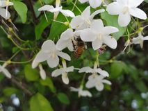 Bee Working A White Flower, bee on flower. Bee Working A White Flower.black yellow bee on flower royalty free stock photo