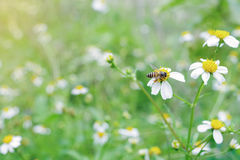 Bee working on wild weed flower field, Spanish needles, in morni Stock Image
