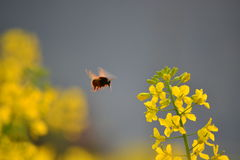 A bee in WuYuan. A bee is flying to the oilseed rape flower Royalty Free Stock Image