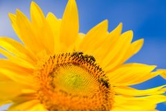 Bee& x27; s工作 免版税图库摄影