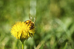Bee& x27; s生活 免版税库存照片