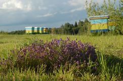 Bee yard Stock Image