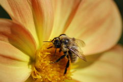 Bee and yeliw flowers. Close-up bee on yellow flower collects nectar Royalty Free Stock Image