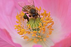 Bee in Yellow Anthers Pink Poppy Flower 02 royalty free stock photography