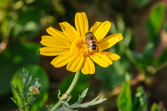 Bee on yellow blooming wildflower. Stock Image