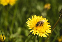 Bee on yellow blowball Stock Photos