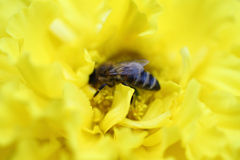Bee on the yellow blur flower Royalty Free Stock Photos